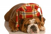 english bulldog wearing plaid hat isolated on white background poster