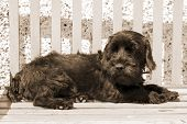 Scottish Terrier lazing on a bench in the summer sunshine poster