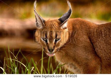 Tier Caracal Katze