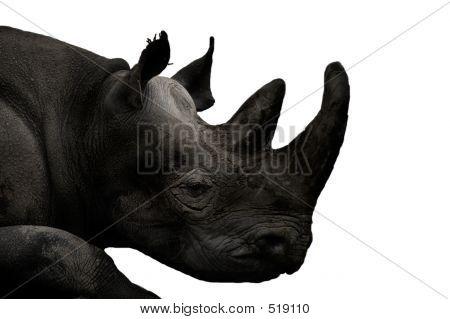Tiere - Rhinoceros (Ceratotherium Simum)