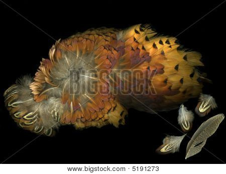 Colorful pheasant wing feathers isolated on black background poster