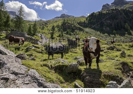 Cuneaz, Cows Grazing In The Mountains