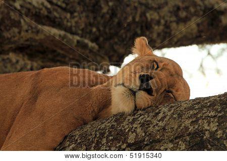 Lion Sleeping in Tree