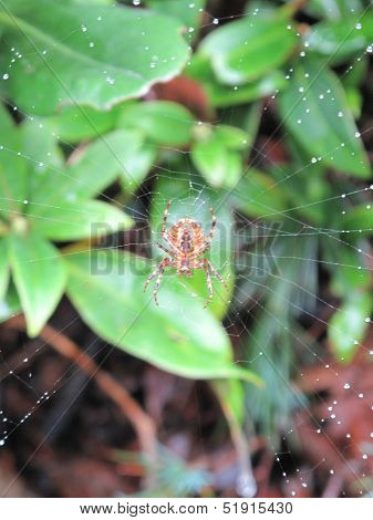 Spider Upon Web