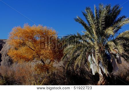 Desert Date Palm Tree