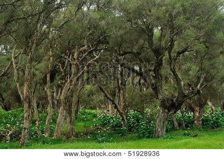 Paperbark Swamp With Lily Infestation