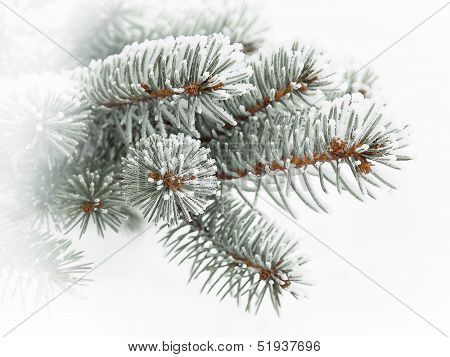 Evergreen Branch Covered With Snow, Against A Background Of Snow.