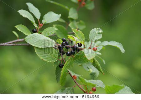 Alder Buckthorn