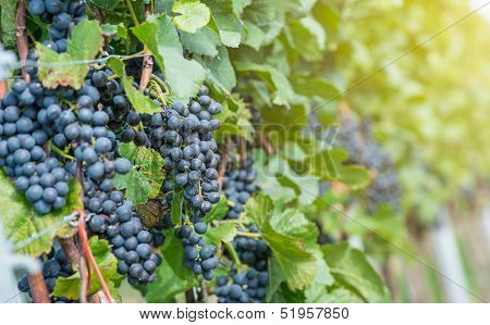 Red Bunch Of Grapes In The Vineyard