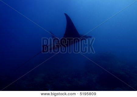 poster of Manta ray at Manta Point divesite Bali Indonesia