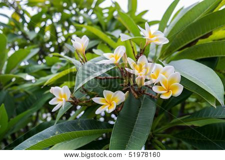 Bunch of Plumeria