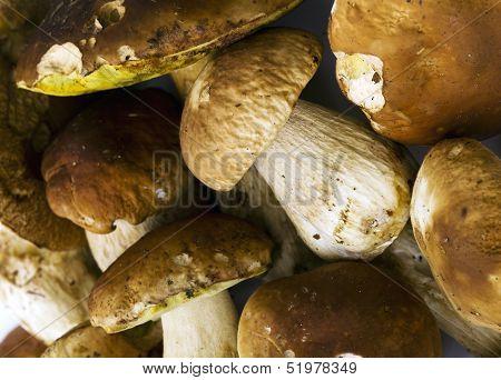 Boletus Edulis Mushrooms Background