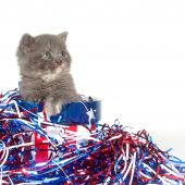 A gray kitten with red white and blue decorations for Fourth of July poster
