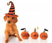 Cute puppy wearing a Halloween witch hat with pumpkins.  poster