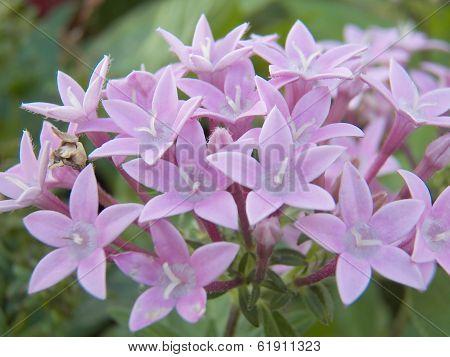 Ixora Coccinea Flowers