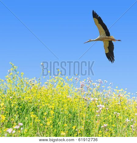 White stork flying in clear blue sky over the spring flowering field herbs with copy-space poster