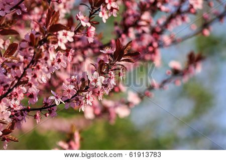 Flowers Of Apple Tree On A Blur Background