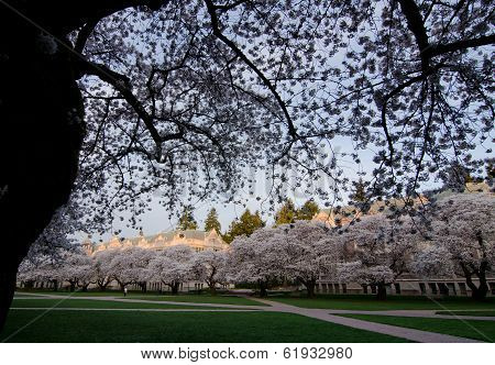Entry To Uw Campus Quad During Cherry Blooming Season