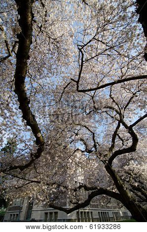 Maze Of Cherry Trees In Blossom