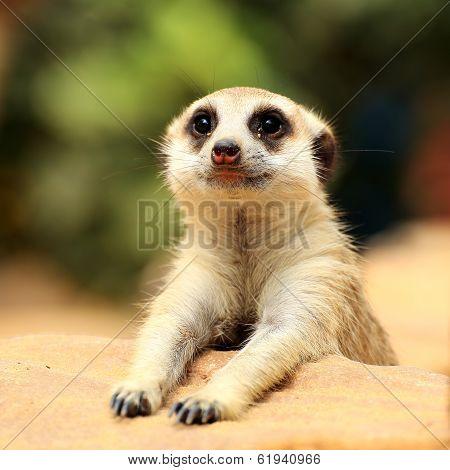 Meerkat Looking