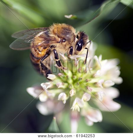 Honey Bee On Clover Blossom