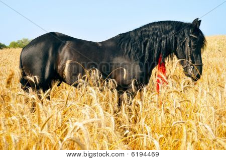 Pretty Black Horse In Golden Field With Red Ribbon In Mane