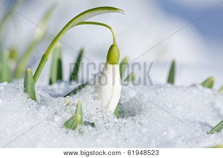 Single spring snowdrop flower with snow