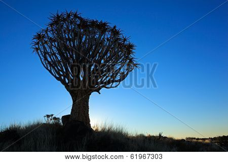 Silhouette of a quiver trees (Aloe dichotoma) at sunset, Namibia, southern Africa