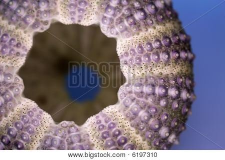 Sea-urchin Close-up