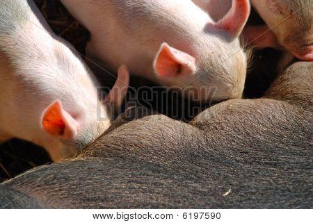 Newborn piglets nursing
