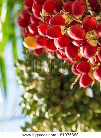 Lipstick Palm Or Sealing-wax Palm Or  Raja Palm Under Sunlight