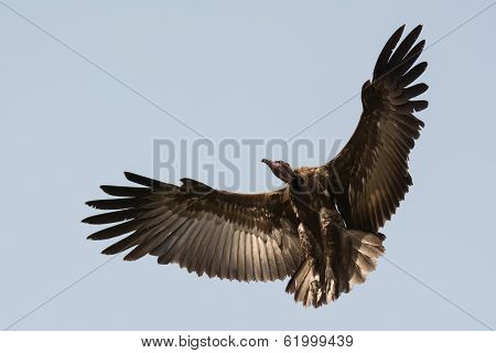 A Hooded Vulture (Necrosyrtes manachus) in flight with wings in a wide curve poster