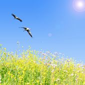 White storks couple fly together against clear blue sky over spring flowering herbs poster