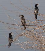 Three Indian Cormorants Phalacrocorax fuscicollis sitting in a bush on edge of Yamuna river poster