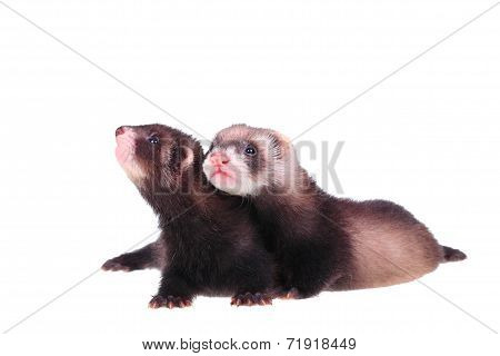 Two little ferret babies isolated in white background poster