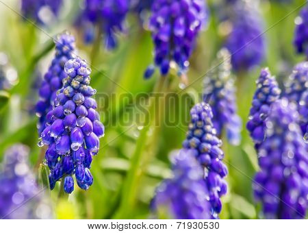 Purple Muscari Armeniacum Closeup