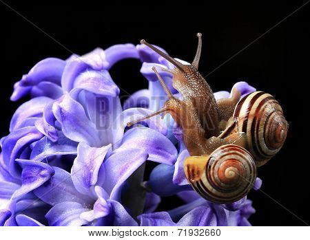 two cute snails on blue hyacinth
