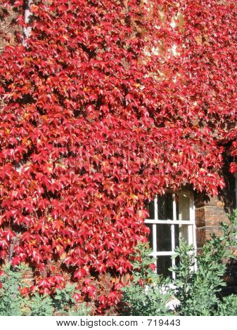 Window In Red Ivy