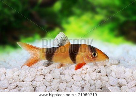 Clown loach tiger botia catfish Botia macracanthus in planted aquarium