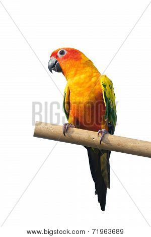 Sun Conure Parrot Screaming on a Branch isolated on white background with clipping path.