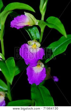 Brachycorythis Helferi