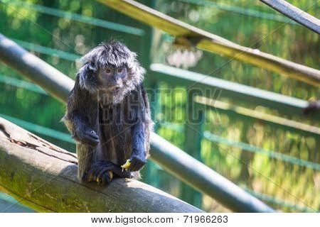 The Javan langur monkey in the zoo