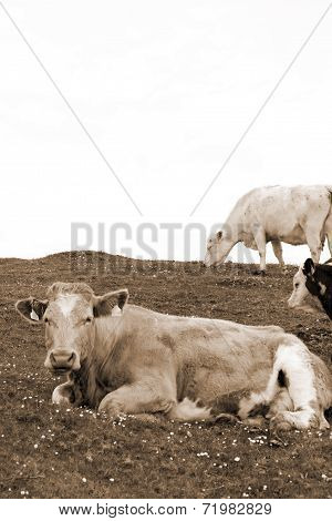 Cattle Feeding On The Green Grass In Sepia