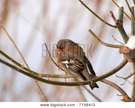 Brown-gray Small Bird