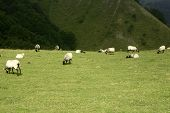 Green meadow with Pyrenees sheeps grass landscape poster