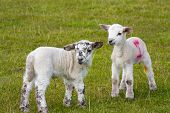 Newborn Spring Lamb twins in rural english meadow. poster