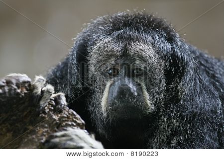 Monk Saki Monkey, Pithecia monachus