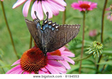 Butterfly on Shasta Daisy