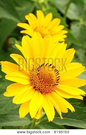 Two Yellow Flowers Arnica