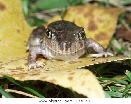 Spadefoot Toad (Scaphiopus holbrookii) at Horseshoe Lake State Fish and Wildlife Area in southern Illinois. poster